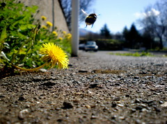 Thank you, bee, for flying away. (Eln Elsabet) Tags: street trees summer sun car spring dof bee explore daffodil funstuff thebestyellow thisshotmakesmegrimaceihategettingbeestings awwsean improudofmydarlingcameraformanagingallthatdof thanksbee takenonmywaytoschool withmyfriendheia whoisafraidofbees moresummerhousepartypicturescomingassoonasihavetime butilovehislegsd mymostcommentedpicture