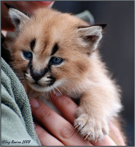 DSC_0667 Adorable tiny caracal...