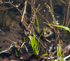 frog in the pond (renidens) Tags: animals spring    moscowbotanicalgarden
