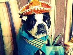 mexivan (EllenJo) Tags: pets silly dogs bostonterrier ivan mexican agave 2008 soulful digitalimages sombreros incostume ellenjo editedwithpicnik ellenjoroberts ellenjdroberts dogsindisguise vintagemexicanstyle