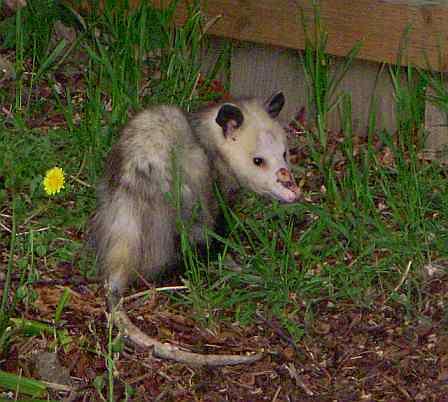 opossum in the back yard