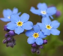 Forget Me Not (Myosotis Palustris) (Jeff Rogerson) Tags: pink blue red white black flower art yellow photography purple sigma tulip forgetmenot blueflower photojournalist smallflower bellevilleontario sigma150mmmacro sigmamacro sigma150mm myosotispalustris finephotography bestphotographer sigma150mmf28exdgmacro jeffrogerson bellevillephotographer jeffrogersonphotography jeffrogersonphotographer jeffrogersoncom belliveontariocanada localphotographerbelleville bestphotographerbelleville ontariobestphotographer
