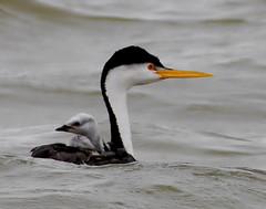 Clark's Grebe (truan) Tags: baby lake water colorado waterbird rider grebe westerngrebe avianexcellence