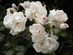 Jaqueline Humery (Britta's photo world) Tags: white plant rose nikon blush britta fragile d3 truss hybridmusk 60mmf28dmicro niermeyer louislens jaquelinehumery