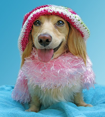 Happy (Doxieone) Tags: pink dog cute english hat tongue long cream dachshund boa honey blonde haired coll longhaired honeydog englishcream halloweenfall2008set