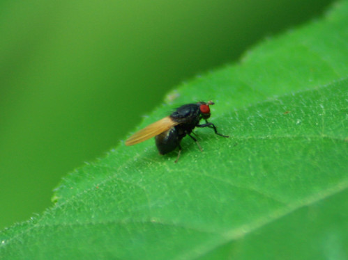 black fly minettia sp