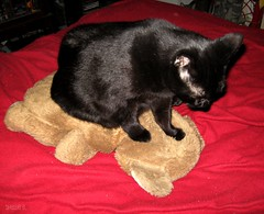 Shadow gives teddy bear massages (ziggywiggy1(SHELLIE B.)) Tags: pet cats cat fur feline paws blackcats teddybears furryfriends funnycats prettykitty photosmiles catwithtoy catssmalltobig crazycatpeople ourcatcompanions kissablekat kissablekats lolcats velvetpaws kittyschoice kissablekitties photostosmileabout catmoments catsmeawww showyourcattotheworld vividcats gattorockello softballoffluff catnipaddicts