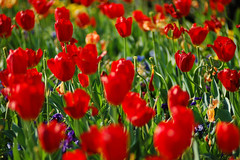 Red Tulips in Bloom (RMac_Photography) Tags: flowers atlanta red flower color green art colors beautiful ga wow georgia cool nice colorful tulips bright atl tulip bloom striking luminous brilliant radiant rmac redtulips beautifulworld anawesomeshot awesomeblossoms fullcolor