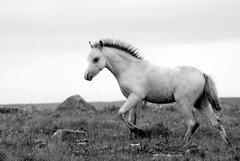 Wild Horses 3 (djemde) Tags: travel wild horses wales 2008 smörgåsbord galope preselihills pentaxk10d