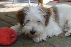 Kruimeltje (Hanna Helena1) Tags: dog cute dogs kruimeltje