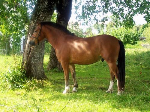 Franche-Montagnes cheval