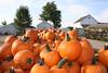 Pumpkins (by Marilyn A LaRose)