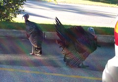 Turkeys_90808b
