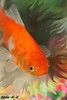 Nono Al-Kuwait (Nouf Alkhamees) Tags: orange fish colors canon alk nono alkuwait الكويت كانون نونو