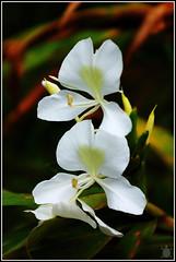 White petals (arturodonate) Tags: arturo donate arturodonate