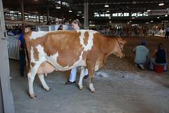 Cow Preparation (Joe Shlabotnik) Tags: newyork cow statefair 2008 faved august2008