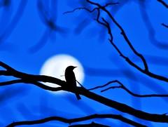 Woodswallow Moon (beeater) Tags: tottenham birdsofaustralia sunsetbirds birdsofnsw tottenhamnsw