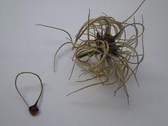 種子- Clematis