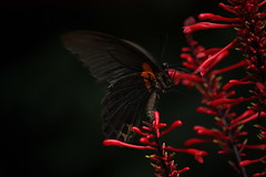 butterfly (what is the name of this butterfly?) (air maxx) Tags: china wallpaper hk flower nature butterfly small hong kong soe watcher