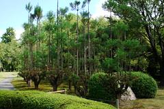 Arbres rectes al Ryoan-ji