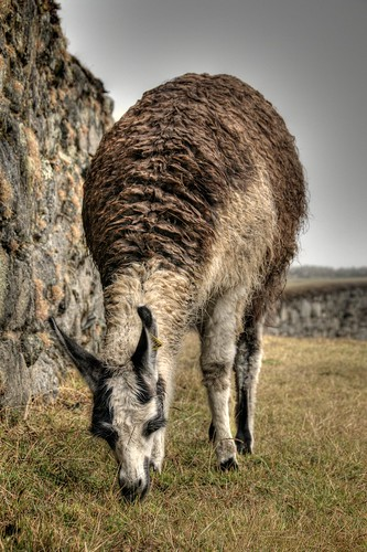 Llama Eating Lunch