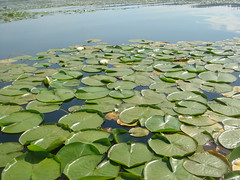 lilypads (shmickr) Tags: florafauna