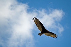 If you want to be inspired by an eagle, Okay, but it´s really a turkey vulture.