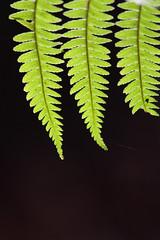 Felci (Claudio®) Tags: verde controluce felce boscodelcansiglio chicècè incontrianordest