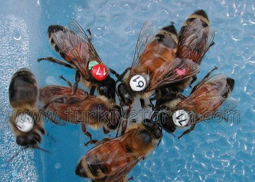 2967750898 66dcca411f o bal arısı kolonisi ve ırkları
