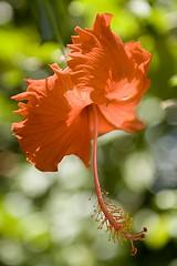 Maratona Fotografica (Luiz C. Salama) Tags: flowers flores flower nature brasil cores colours c natureza flor manaus jornada luiz ael amazonas salama ocioso fotoclube drocio luizsalama aescritadaluz salamaluiz metareplyrecover2allsearchprigoogleover