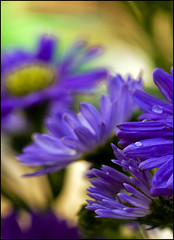 aster (helenabraga) Tags: flower macro brasil flor aster mywinners abigfave helenabraga anawesomeshot citrit theunforgettablepictures colourartaward thebestofday gnneniyisi
