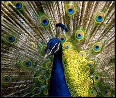 portrait of a peacock (Andrea Rapisarda) Tags: brazil bird nature colors beauty animal photography photo foto peacock natura explore fotografia colori bellezza gmt uccello pavone iguau explored abigfave olympuse510 damniwishidtakenthat magicdonkeysbest andrearapisarda lesamisdupetitprince novavitanewlife