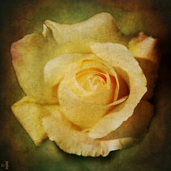 Vintage Rose . (Lensational) Tags: plant flores flower art nature floral rose vintage garden painting flora paint petal canvas textures oil sensational layers paintshoppro aged shiningstar iceburg postprocessing naturesfinest citrit bestofyours lensational ilovemypics