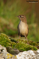 Winter Wren Troglodytes troglodytes (Nigel Blake, 12 MILLION...Yay! Many thanks!) Tags: winter rock covered lichen wren troglodytes thewonderfulworldofbirds