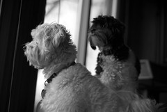 lola and ollie: a vision for a better america (bex finch) Tags: dogs aka lola ollie waitforit maltesepoodle shihtzupoodle shitpoo akamaltipoo shesgottalivewiththatfortherestofherlife
