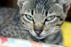 brave , little Geronimo (xeno(x)) Tags: macro art nature cat canon eyes asia 2008 xeno geronimo bej 40d mywinners abigfave