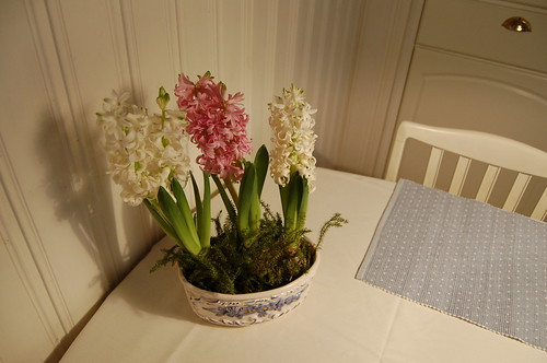 Christmas is hyacinth