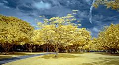 Tree (Dannie Tj. - ) Tags: singapore d70s infrared soe supershot abigfave platinumphoto colorphotoaward theunforgettablepictures colourartaward earthasia thebestofday gnneniyisi yourcountry flickrlovers micarttttworldphotographyawards micartttt goldieirfilter590nm