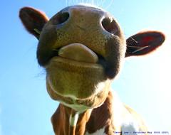 I said no tongues....... (law_keven) Tags: england animals tongue cow cows farming dairy essex bovine dedham farmanimals gotmilk cowcloseup