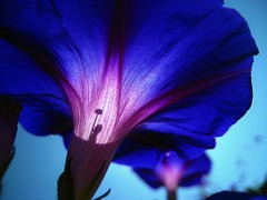 (Alex_14) Tags: morning flowers blue light sky sun detail macro nature up canon close purple angle god glory perspective powershot thankful transparent sd1000