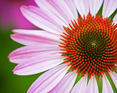 and that's when we'll explode ([Adam Baker]) Tags: pink red summer orange flower canon bright cone bokeh sharp fibonacci bloom coneflower cornell trippy simple bteam excellence plantations thepostalservice adambaker 100mm28macro 5dmarkii twomorephotos probablytoosimple queuecleaning