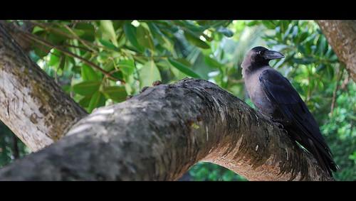 കാക്ക  (Crow)
