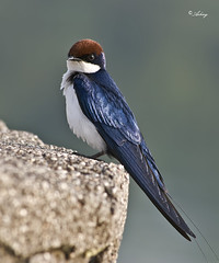 Wire Tailed Swallow(Explored) (Ashay Dhavale) Tags: india birds nikon sigma maharashtra pune 70300 d60 wiretailedswallow ashay clearbackground dhavale