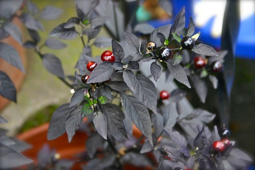 Black leaved peppers