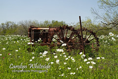 Tractor and White Poppies