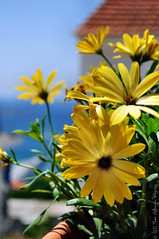 Yellow Daisy flowers blooming in the summer sun! (Manos Eleftheroglou (Photography)) Tags: city flowers blue light sea summer sky sun seascape flower colour macro film beach nature water ecology beautiful yellow daisies island greek nikon europe day natural aegean scenic hellas scene greece daisy griechenland soe samos waterscape pythagorion pythagorio 2011 blueribbonwinner supershot  mywinners abigfave   platinumphoto d5000 anawesomeshot aplusphoto  flickraward   platinumheartaward betterthangood goldstaraward  nikonflickraward artofimages nikond5000 tripleniceshot mygearandme mygearandmepremium mygearandmebronze mygearandmesilver mygearandmegold mygearandmeplatinum blinkagain makisamos