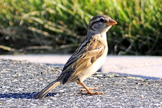 driveway sparrow