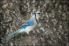 Blue Jay (www.matthansenphotography.com) Tags: blue tree bird nature animal jay wildlife bluejay trunk avian cyanocittacristata corvidae americanelm matthansen