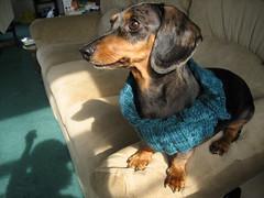 Tudora-dachshund