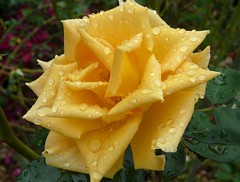 Rainy rose  (Dave :-) (on and off)) Tags: flower macro nature rain rose yellow closeup dave drops bravo lovely loveyou abigfave diamondclassphotographer flickrdiamond